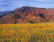 """CADDV_046 - USA, California, Death Valley National Park, Huge field of desert sunflower blooms beneath the Black Mountains. A very wet winter produced this rare """"hundred year bloom""""."""