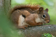 This Red Squirrel was hiding on tree branch at the Tioga Hammond Lakes public parks area in PA.