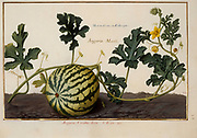 watermelon vine and fruit , 17th century hand painted on Parchment botany study of a from the Jardin du Roi botanical Florilegium of Prince Eugene of Savoy collection, Paris c. 1670 artist: Nicolas Robert