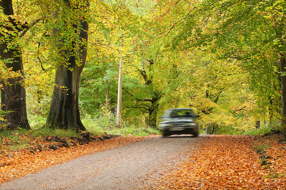 Autumn colour in the beech trees that line the Grand Avenue through Savernake Forest near Marlborough, Wiltshire, Uk