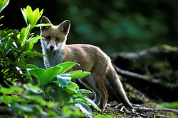 Red fox cub (vulpes vulpes), stood looking to camera in a woodland clearing, near Loughborough, Leicestershire, England, UK.