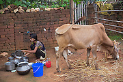 Next to one of her family's ox, Tabasum Khatun, 14, is washing dishes in the courtyard of her home in Algunda village, pop. 1000, Giridih District, rural Jharkhand, India.