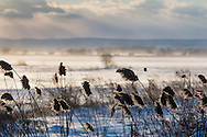 Florida, New York - Strong winds blow cattails in the foreground and snow across farm fields in the background in the Black Dirt region of Orange County on Jan. 30, 2015.