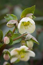 Helleborus × ericsmithii 'Bob's Best'