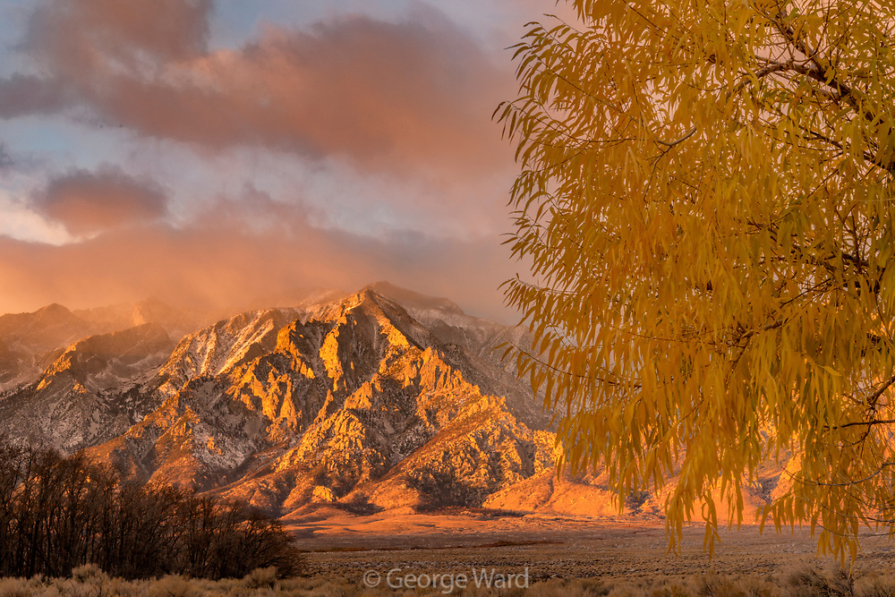 Mount Williamson and Willow at Dawn, BLM Lands, Inyo County, California