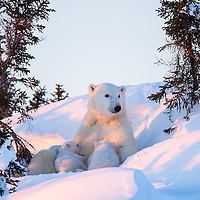 Polar bear mother nursing her two three month old cubs in Wapusk National Park south of Churchill near the Hudson Bay.