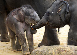 © Licensed to London News Pictures. 07/11/2013 Whipsnade, UK. Three week old Asian elephant, Max play fights with  two year old brother Scott as he makes his first public appearance at Whipsnade Zoo, Beds. Born on October 12th, he shares his paddock with mum Karishima and nine other elephants including siblings George, Donna and Scott.<br /> Photo credit : Simon Jacobs/LNP