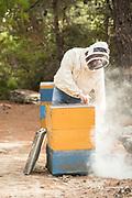 Beekeeper smoking hive and harvesting honey, Ikaria, Greece