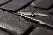 Nederland, Ubbergen, 3-4-2018Vrijwilligers helpen de padden en wild-water-salamanders (foto) met het oversteken van de Rijsstraatweg. Ze trekken naar het water en de poelen aan de voet van de stuwwal.Foto: Flip Franssen