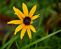 Black-eyed Susan?. Image taken with a Fuji X-H1 camera and 80 mm f/2.8 macro lens