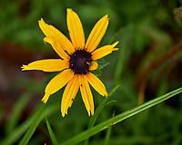 Black-eyed Susan?. Image taken with a Fuji X-H1 camera and 80 mm f/2.8 macro lens