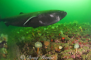 Greenland sleeper shark ( Somniosus microcephalus )<br /> swims over plumose or frilled anemones ( Metridium senile )<br /> and northern red anemone ( Tealia felina or Urticina felina )<br /> St. Lawrence River estuary, Canada<br /> (this shark was wild & unrestrained; it was not hooked<br /> and tail-roped as in most or all photos from the Arctic)
