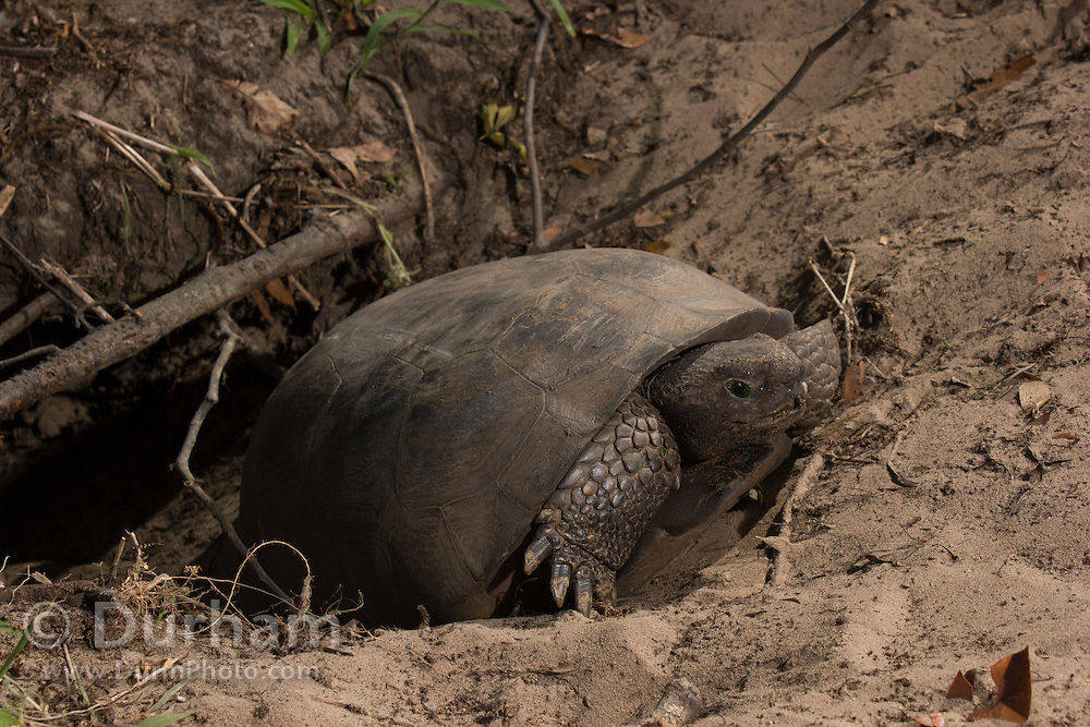 A gopher tortoise (Gopherus polyphemus) emerging from its burrow in Timucuan Ecological and Historic Preserve, Florida.