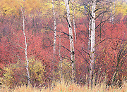 Swan Valley Autumn Aspens Portrait