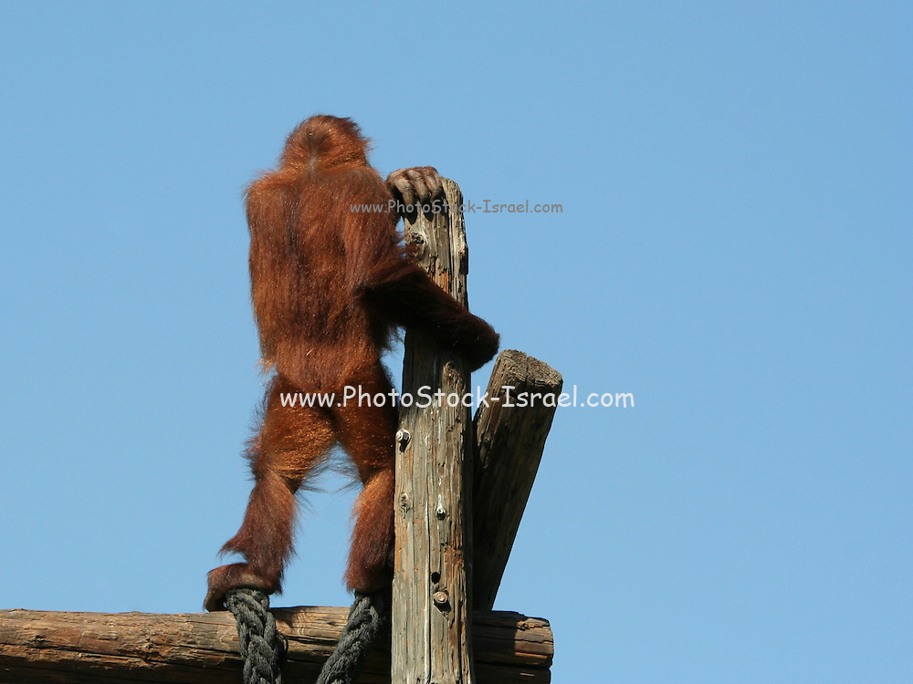 Orangutan, Pongo pygmaeus, on a look out, seen from the back