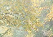 Misty autumn portrait, North Cascades, Washington