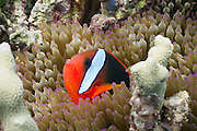 Red Black Anemonefish (Amphiprion melanopus) in Bulb Tentacle Sea Anemone (entacmaea quadricolor) - Agincourt Reef, Great Barrier Reef, Queensland, Australia. <br />