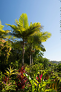 Roystonea regia (Royal Palm), Cordyline and Musa basjoo (banana tree) in the Hyde Park Garden, St. George's, Grenada, The West Indies, The Caribbean