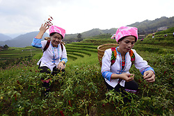 GUILIN, Sept. 2, 2017  Longji, Guangxi Zhuang, China - Two Women pluck chili peppers as they take part in a competition in the annual Chili Pepper Festival in Mahai Village of Longji Town. The village celebrates chili pepper harvest in this time of the year by organizing games like pepper plucking, pepper chopping, chicken chasing and fishing. (Credit Image: © Wu Shengbin/Xinhua via ZUMA Wire)