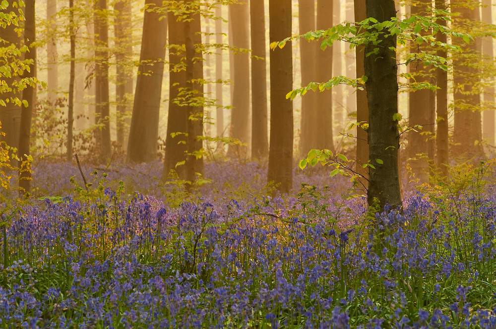 Glorious dawn light in Hallerbos forest, bluebells Hyacinthoides non-scripta in the foreground, Belgium