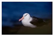 Black-browed Albatross nesting at Saunders Island, West Falkland Island. Nikon D850, 200-400mm @ 400mm, f4, 1/4000 sec, ISO320, Aperture priority