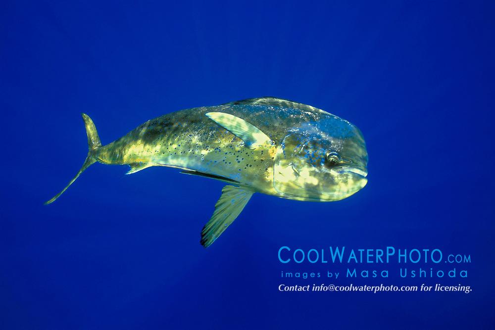 mahi mahi, dolphin fish, or dorado bull, Coryphaena hippurus, Kona, Big Island, Hawaii, USA, Pacific Ocean