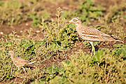 Stone Curlew, Eurasian Thick-knee, or Eurasian Stone-curlew (Burhinus oedicnemus) with chicks. This wading bird is found in dry open scrublands of Europe, north Africa and south-western Asia. It feeds mainly on insects and other invertebrates, but will also prey on other small animals. Photographed in Israel in May