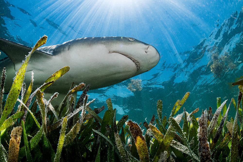 Lemon shark (Negaprion brevirostris) hunting over a seagrass (Thalassia testudinum) meadow in the Florida Keys, Florida, USA.
