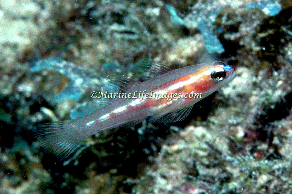 Mask-Glass Gobies hover in small aggregations just inside or near recesses in reefs in Tropical West Atlantic; picture taken Key Largo, FL.