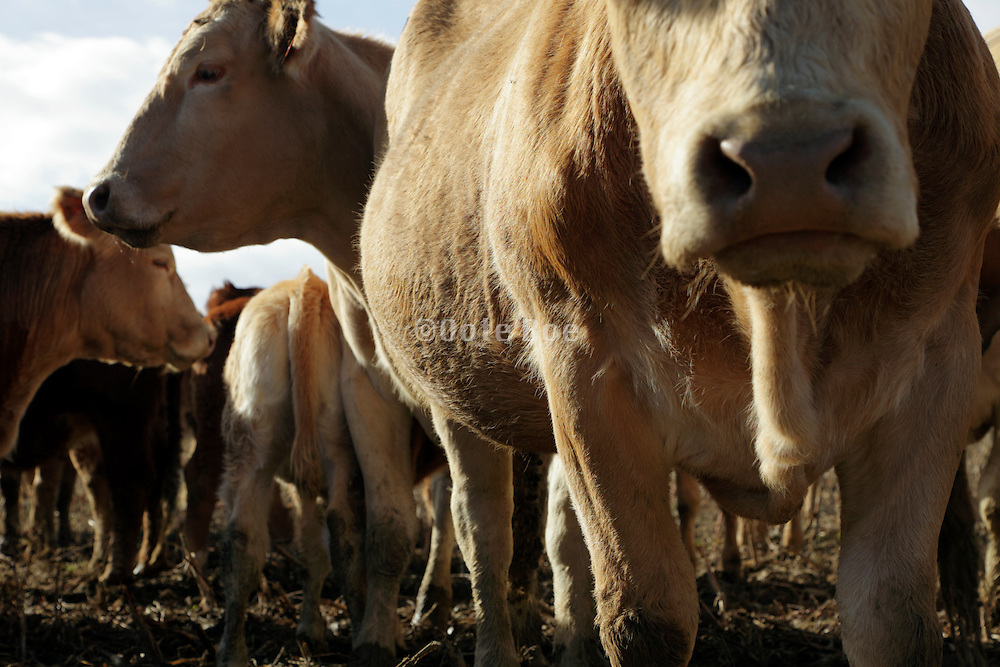 close up of a cows standing outdoors