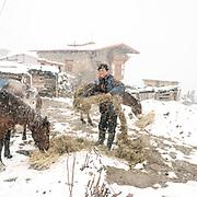 A Layap man feeding hay to his mules.