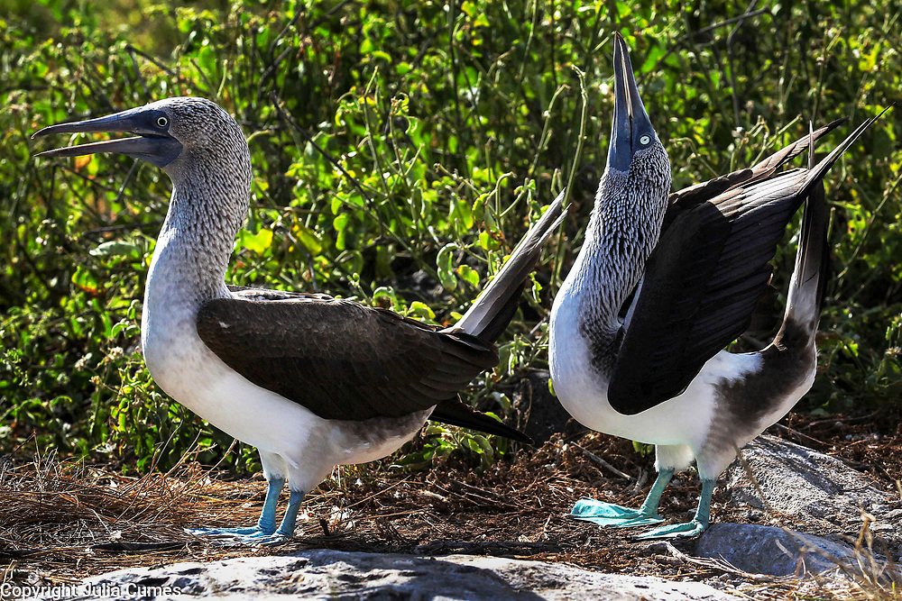 """A male blue-footed booby tries to catch the attention of his female partner by performing a courtship ritual on Espanola Island in the Galaogos. Apparently, the name """"booby"""" comes from the Spanish word """"bobo"""" which means """"clown"""" or """"fool"""" or 'stupid"""". They earned this name because of their clumsy movements on land. Famous for their mating dance, the male booby will spread his wings and lift his blue feet high off the ground to impress his female partner with whom he mates for life."""