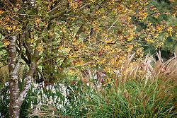 Autumn border at Pettifers. Sorbus 'Joseph Rock' - Mountain ash - and Miscanthus sinensis 'Yakushima Dwarf'