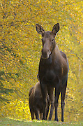Alaska. Cow moose (Alces alces) and calf during fall at Kincaid Park, Anchorage.