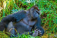 Gorilla, Pangani Forest Exploration Trail, Disney's Animal Kingdom, Walt Disney World, Orlando, Florida USA