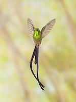 Male black-tailed trainbearer hummingbird, Lesbia victoriae, near Quito, Ecuador