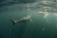 Basking Shark (Cetorhinus maximus); in the area of the Island of Mull; Scotland. June <br /> 2009.<br /> Model release form nº 1