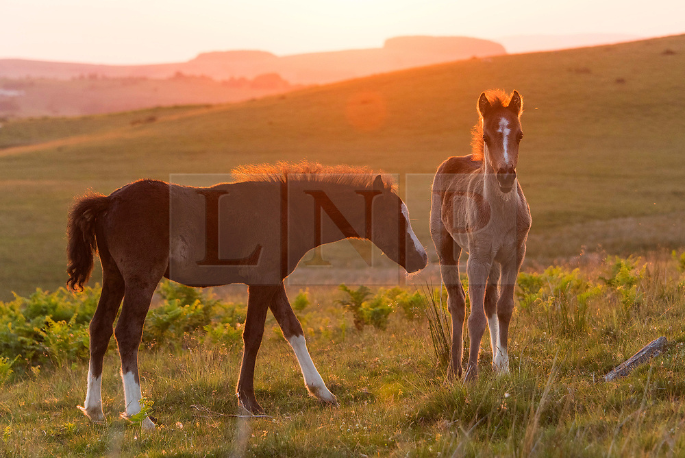 © Licensed to London News Pictures. 24/06/2020. Builth Wells, Powys, Wales, UK. Welsh mountain ponies and foals relax on the Mynydd Epynt range, on a beautiful warm sunny evening near Builth Wells in Powys,Wales, UK. Photo credit: Graham M. Lawrence/LNP