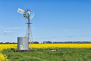 windmill and water tank in field of flowering canola during springtime near Cressy, Victoria, Australia <br /> <br /> Editions:- Open Edition Print / Stock Image