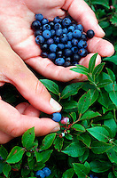 Picking wild  blueberries, Canaan Valley, West Virginia