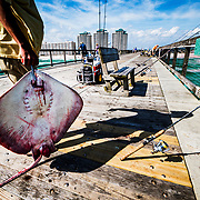 On a purpose-built fishing dock in northern Florida a stingray is caught for shark-fishing bait.
