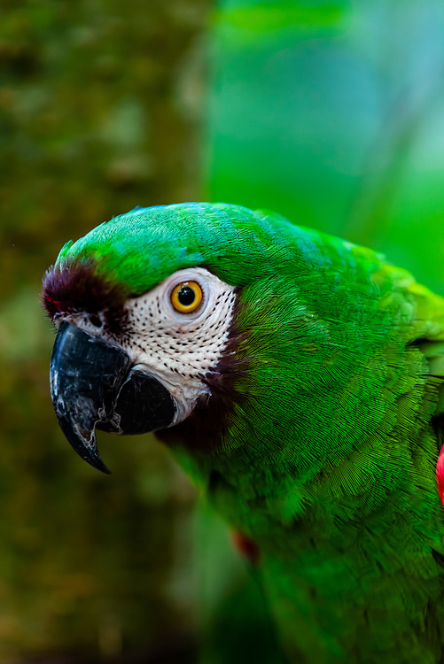 Macaw, Parque des Aves (Bird Park), Foz do Iguacu, Brazil.    <br /> <br /> Parque das Aves is the only institution in the world focused on the conservation of the beautiful and exuberant birds of the Atlantic Rainforest, offering an up-close, immersive and charming experience with them.