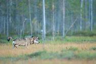 Eurasian wolf, Canis lupus, Kuikka, Kainuu, Finland, on the border with Russia