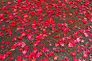 Red, Fall leaves of a Japanese Maple in Williams Park, Langley, British Columbia, Canada