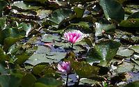 WAREGEM (BELGIE) . waterlelie (bloem)  Golfbaan van Golfclub Waregem. COPYYRIGHT KOEN SUYK