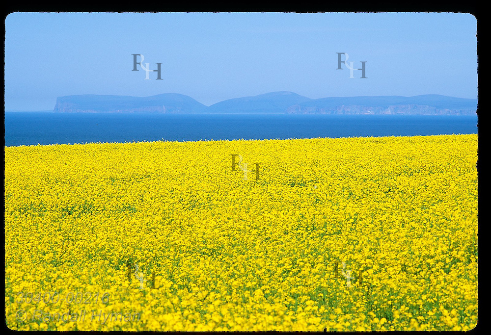 Brilliant yellow canola field at north tip of Scotland frames distant Orkney Islands; Thurso. Scotland