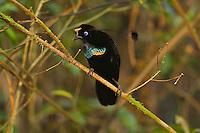 Wahnes Parotia Bird of Paradise (Parotia wahnesi) male in the YUS Conservation Area..Huon Peninsula, Morobe Province, Papua New Guinea.