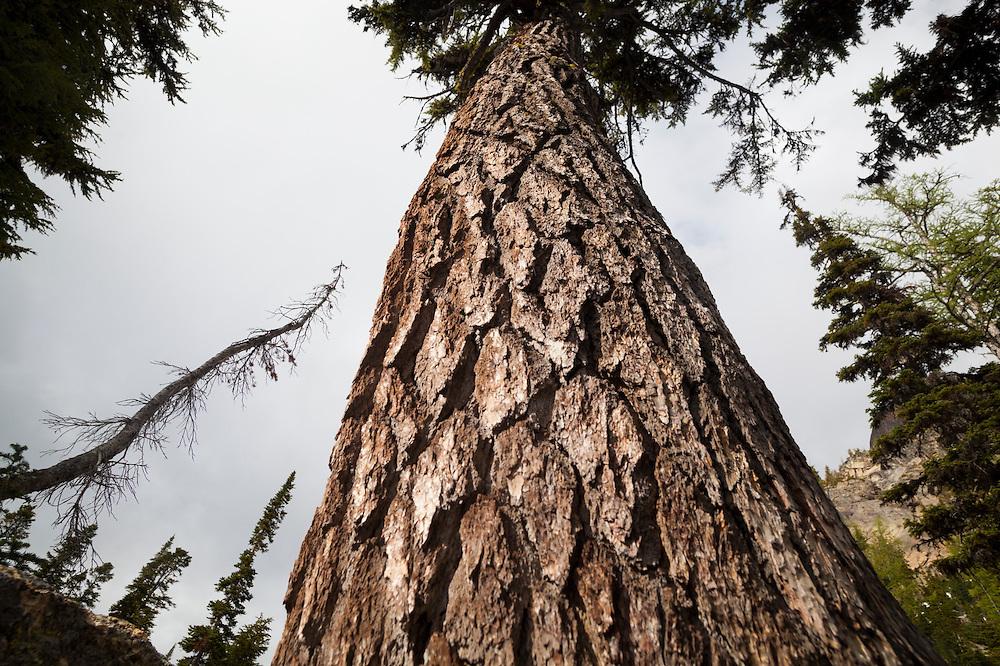 Large douglas fir (Pseudotsuga menziesii) on the trail to Blue Lake, North Cascades Scenic Highway Corridor, Washington.