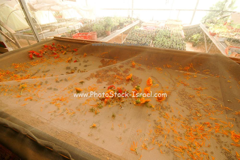 Israel, Ecological farm, drying herbs