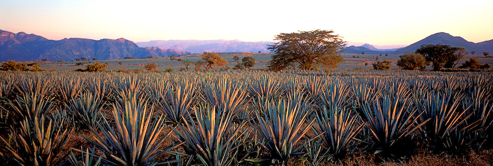 MEXICO, AGRICULTURE Tequila, plantations of the Maguey cactus from which the drink Tequila is made, northwest of Guadalajara